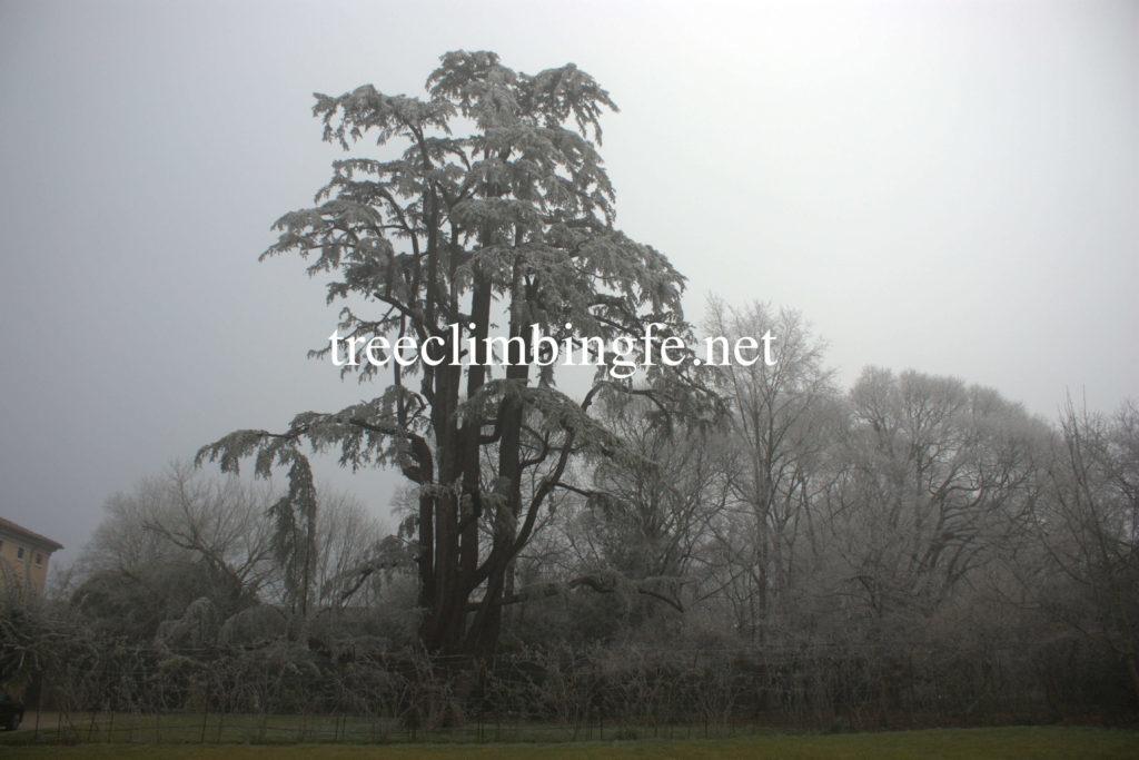 Tree Climbing Ferrara – Arboricoltura Perelli: dimostrazione tree climbing sul Cedrus Deodara