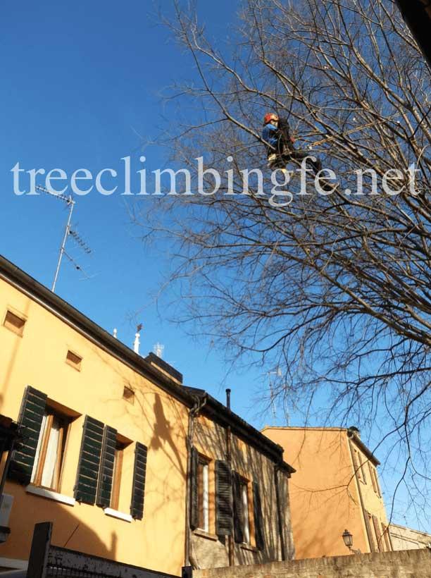 Tree Climbing Ferrara - Arboricoltura Perelli: intervento di recupero Bagolaro