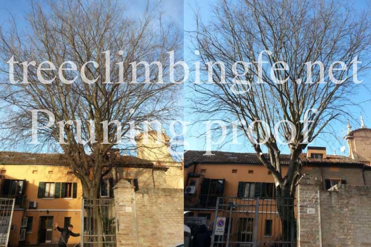 Tree Climbing Ferrara - Arboricoltura Perelli: intervento di recupero Celtis Australis