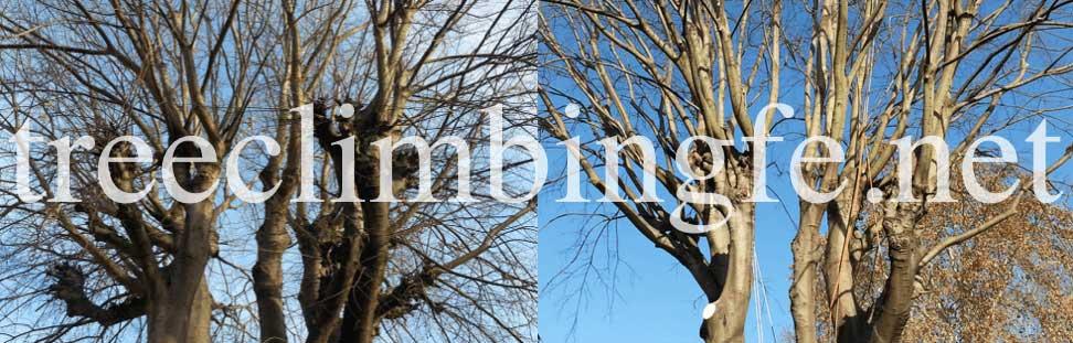 Tree Climbing Ferrara - Arboricoltura Perelli: recupero di un Bagolaro potatura di riforma della chioma