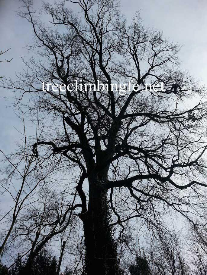 Tree Climbing Ferrara - Arboricoltura Perelli: Quercus robur