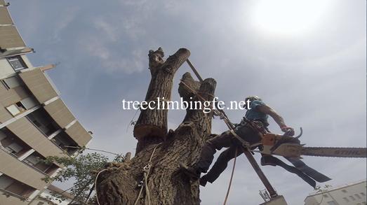 Tree Climbing Ferrara - Arboricoltura Perelli: abbattimento controllato di una pianta di alto fusto