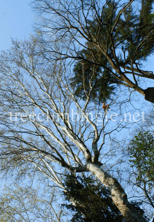 Tree Climbing Ferrara – Arboricoltura Perelli: potatura
