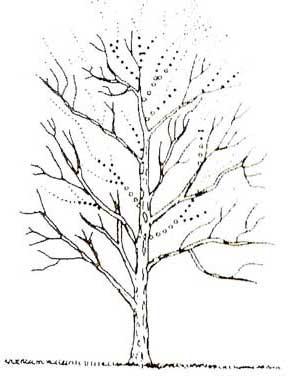 Tree Climbing Ferrara - Arboricoltura Perelli: potatura di diradamento taglio di ritorno