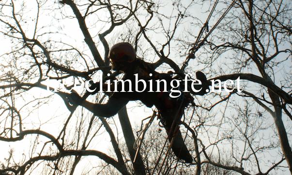 Tree Climbing Ferrara - Arboricoltura Perelli: tecnica di potatura rimonda del secco