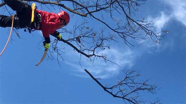 Tree Climbing Ferrara – Arboricoltura Perelli: intervento di potatura in tree climbing di un quercia