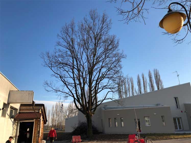 Tree Climbing Ferrara - Arboricoltura Perelli: potatura di una quercia in tree climbing