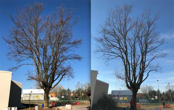 Tree Climbing Ferrara – Arboricoltura Perelli: potatura in tree climbing per assecondare le naturali caratteristiche rigenerative dell'albero